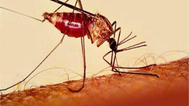 الذبابة المسببة للملاريا