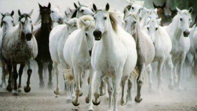 صورة لأحصنة جميلة