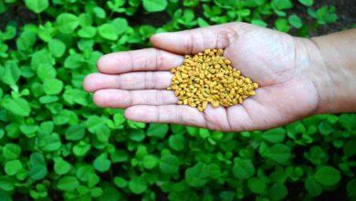 نبات وحبوب الحلبة