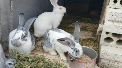 معلومات مفيدة وقيمة لتربية الأرانب