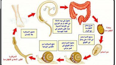 دورة حياة البلهارسيا