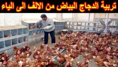 تربية الدجاج البياض من الألف للياء