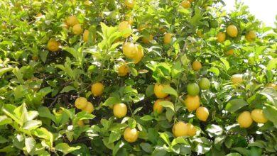 الليمون الأصفر