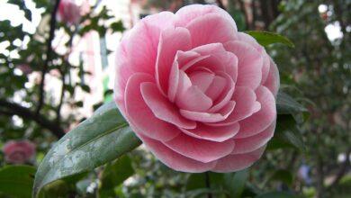 اجمل زهور الكاميليا.
