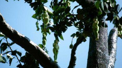 شكل الشجر الذي ينبت ثمار يشبه الفتاة أو الأنثى في جزر الواق واق.
